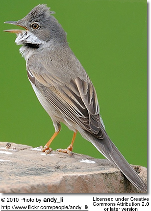 Lesser Whitethroats