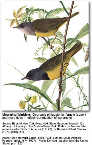 Mourning Warblers