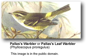 Palla's Warblers
