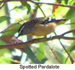 Spotted Paradalote