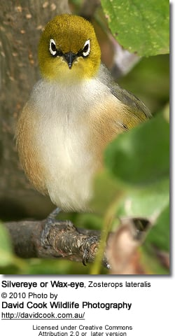 Silvereye or Wax-eye, Zosterops lateralis