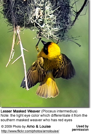 African Masked Weaver male at nest