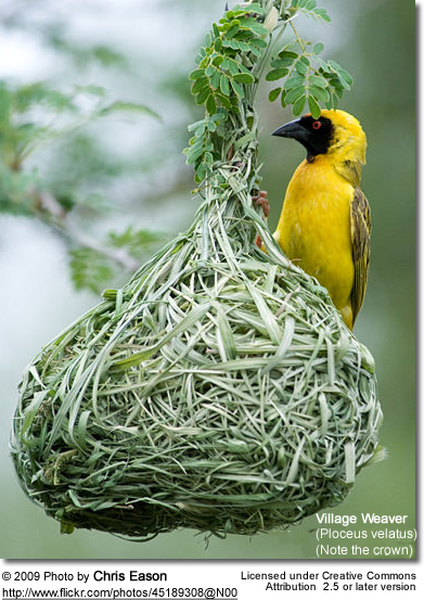 African Masked Weaver - male at nest