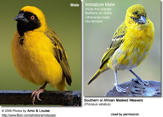 African Masked Weavers : Male and Female