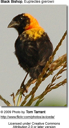 Black Bishop, Euplectes gierowii
