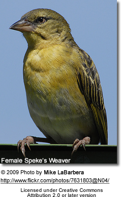 Female Speke's Weaver