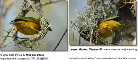Lesser Masked Weavers weaving a nest