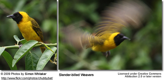 Slender-billed Weavers
