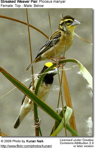 A pair of streaked weavers. The female is on top; below the male.