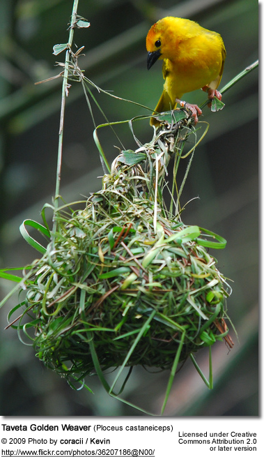 Taveta Golden Weaver at nest