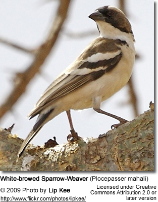 White-browed Sparrow Weaver