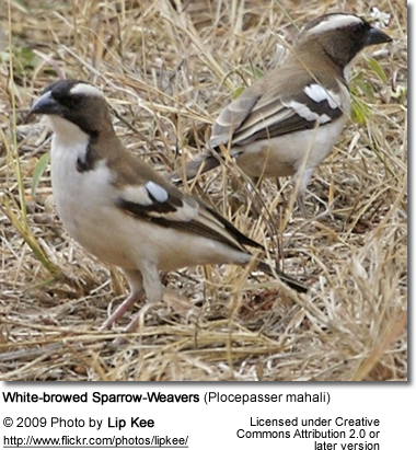 White-browed Sparrow-Weavers