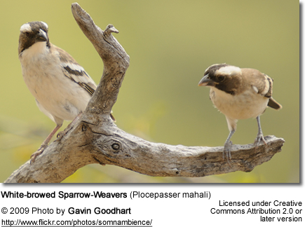 White-browed Sparrow-Weavers (Plocepasser mahali)