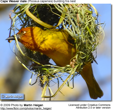 Male Cape Weaver building nest