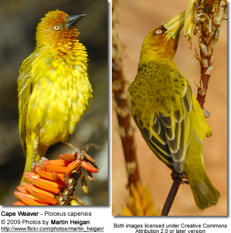 Cape Weavers