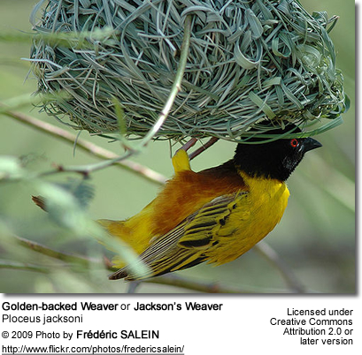 Golden-backed Weaver or Jackson's Weaver (Ploceus jacksoni)