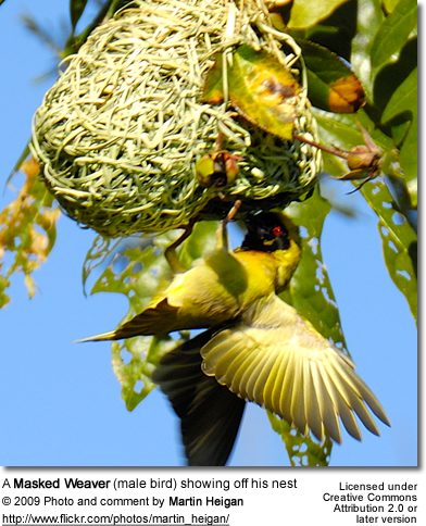 Masked weaver showing off his nest