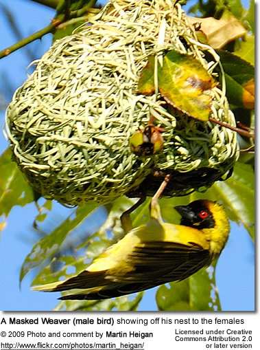 Male Masked Weaver at nest