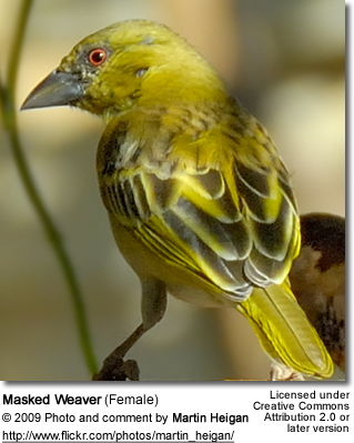 Female Masked Weaver