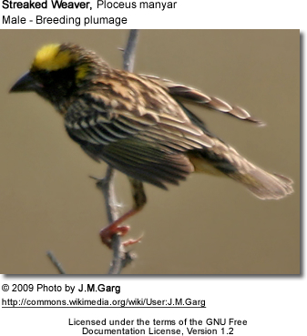 Breeding Male Streaked Weaver