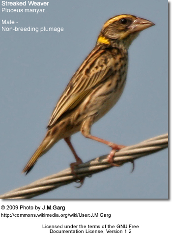 Non-breeding male streaked weaver