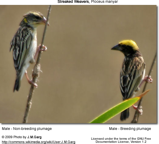 One breeding and one non-breeding male streaked weaver