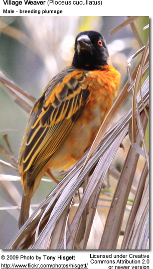 Village Weaver - breeding male plumage