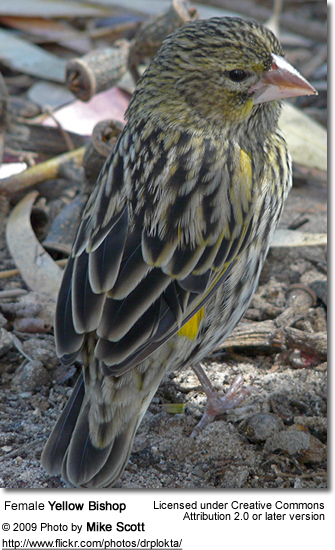 Yellow Bishop hen