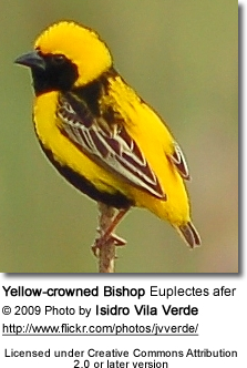 Yellow-crowned Bishop Male