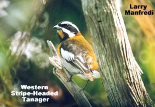 Western Striped Tanager