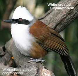 Whitecrested Laughingthrush