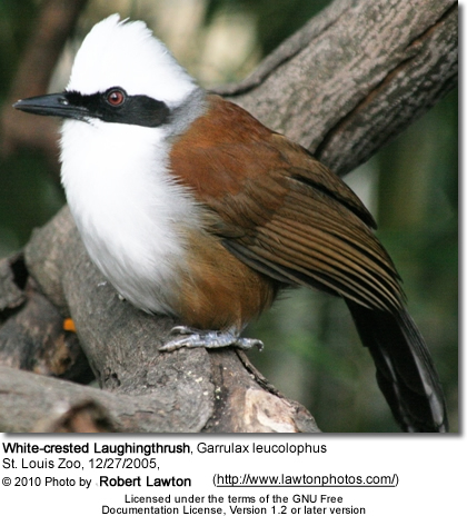 White-crested Laughingthrushes
