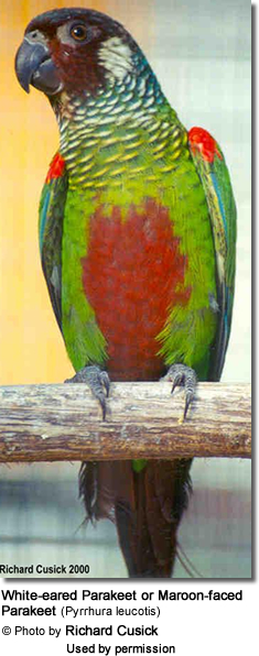 White-eared Conure or White-eared Parakeet