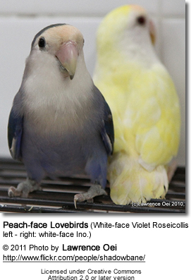 Peach-face Lovebirds (White-face Violet Roseicollis left - right: white-face Ino.)