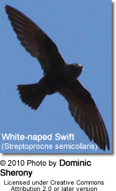 White-naped Swift (Streptoprocne semicollaris)