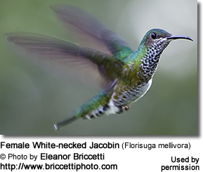 Female White-necked Jacobin (Florisuga mellivora)