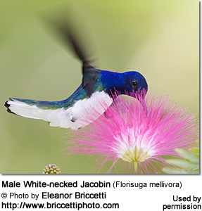Male White-necked Jacobin (Florisuga mellivora)