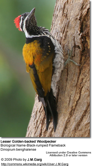 Lesser Golden-backed Woodpecker