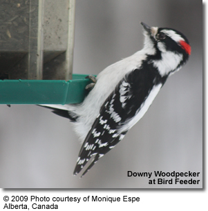 Downy Woodpecker at Bird Feeder