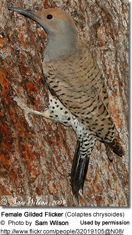 Female Gilded Flicker