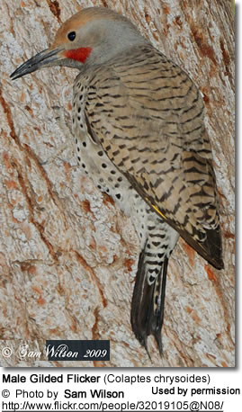 Gilded Flicker by Nest