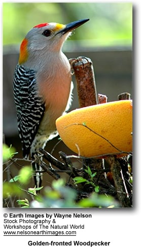 Golden-fronted Woodpecker