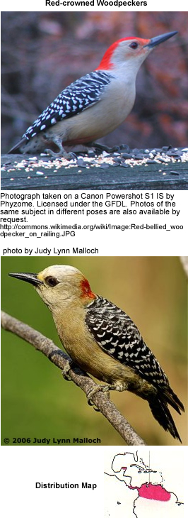 Red-crowned Woodpeckers
