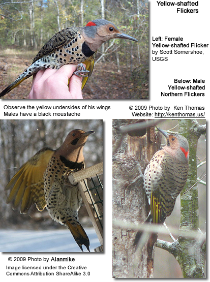 Yellow-shafted Northern Flickers - Males and one Female