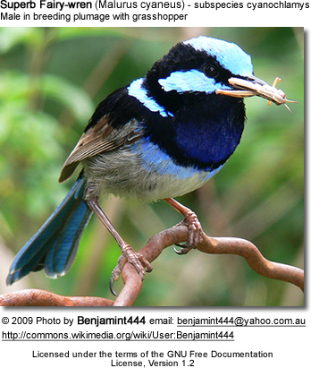 Superb Fairy-wren - breeding male with grasshopper