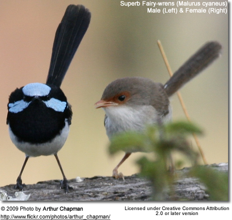 Superb Fairy-wrens (Male and Female)