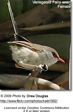 Fairy Wren Female