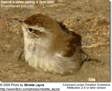 Bewick's Wren taking a dust bath