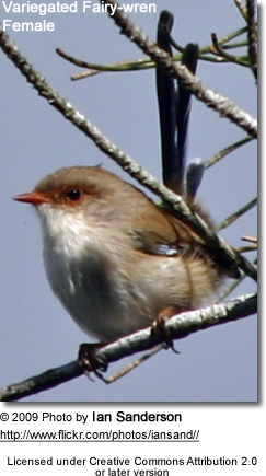 Fairy-wren Female