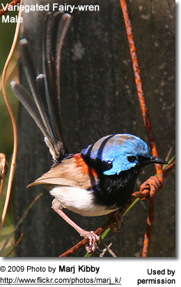 Fairy-wren Male